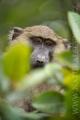 pavián babuin 0010