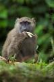 pavián babuin 0011