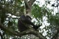 šimpanz učenlivý 0005