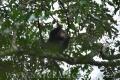 šimpanz učenlivý 0006