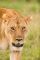 lev pustinný  0092