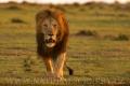 lev pustinný  0093