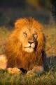 lev pustinný  0094