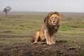 lev pustinný  0096