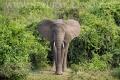 slon africký 0067