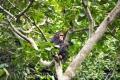 šimpanz učenlivý 0009