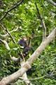 šimpanz učenlivý 0010