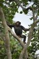 šimpanz učenlivý 0011