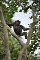 šimpanz učenlivý 0012