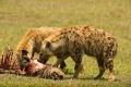 hyena skvrnitá 0013