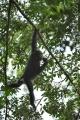 šimpanz učenlivý 0013