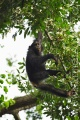 šimpanz učenlivý 0014