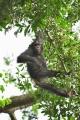 šimpanz učenlivý 0015