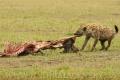 hyena skvrnitá 0014