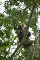 šimpanz učenlivý 0016