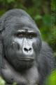 gorila horská 0015