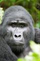 gorila horská 0013