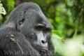 gorila horská 0012