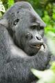 gorila horská 0011