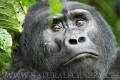 gorila horská 0010