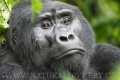 gorila horská 0009