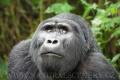 gorila horská 0008