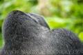 gorila horská 0007