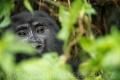 gorila horská 0006