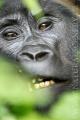 gorila horská 0005