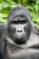 gorila horská 0003