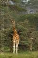 žirafa 0036