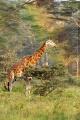 žirafa 0037