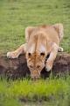 lev pustinný  0098