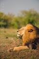 lev pustinný  0101