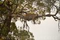 levhart africký 0014