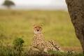 gepard štíhlý 0058
