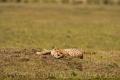 gepard štíhlý 0059