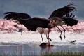 marabu africký 0002