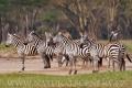 zebra stepní 0024