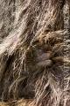 pavián babuin 0007