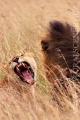 lev pustinný  0070