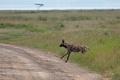 hyena žíhaná 0002