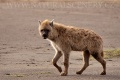 hyena skvrnitá 0001