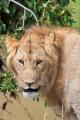 lev pustinný  0065
