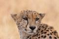 gepard štíhlý 0045