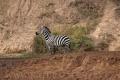 zebra stepní 0023