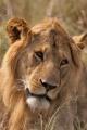 lev pustinný  0068