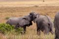 slon africký 0066