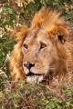 lev pustinný  0072