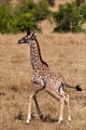 žirafa 0017